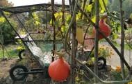 Moliūginės karietos ne tik pasakose – Šiaulių universiteto Botanikos sode akį traukia neįprasta karieta