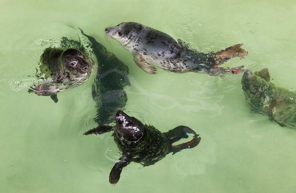 Jūrų muziejuje – rekordinis gydomų ruonių jauniklių skaičius